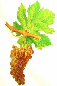 Grappe de roussanne ou bergeron en Savoie