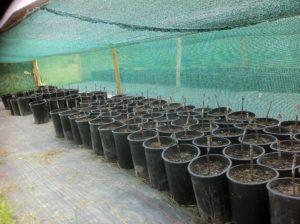 Nurserie de greffe-boutures en pot