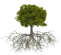 Les racines d'un arbre